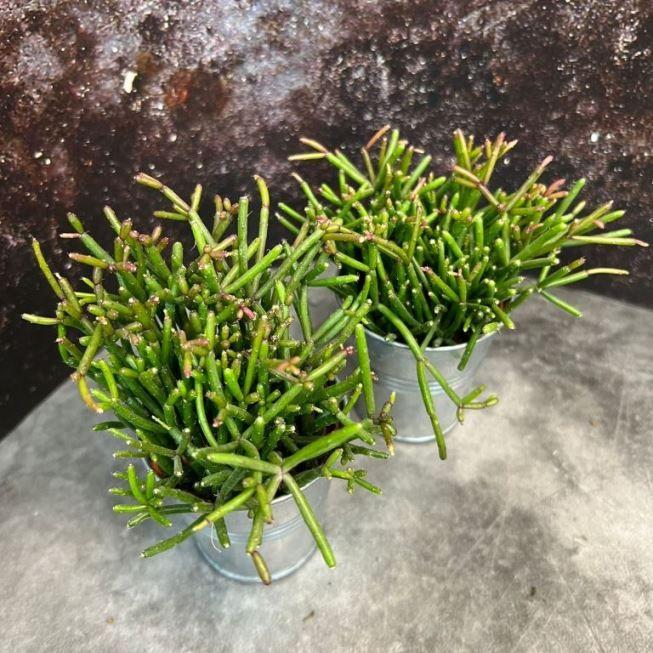 Растение Rhipsalis CASSUTHA Рипсалис кассута пустоплодный 1