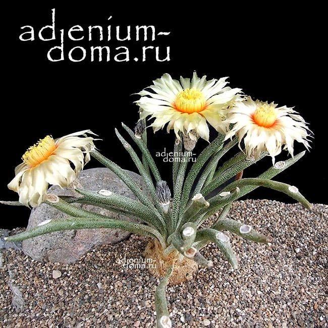 Astrophytum CAPUT-MEDUSAE Астрофитум голова-медузы 1