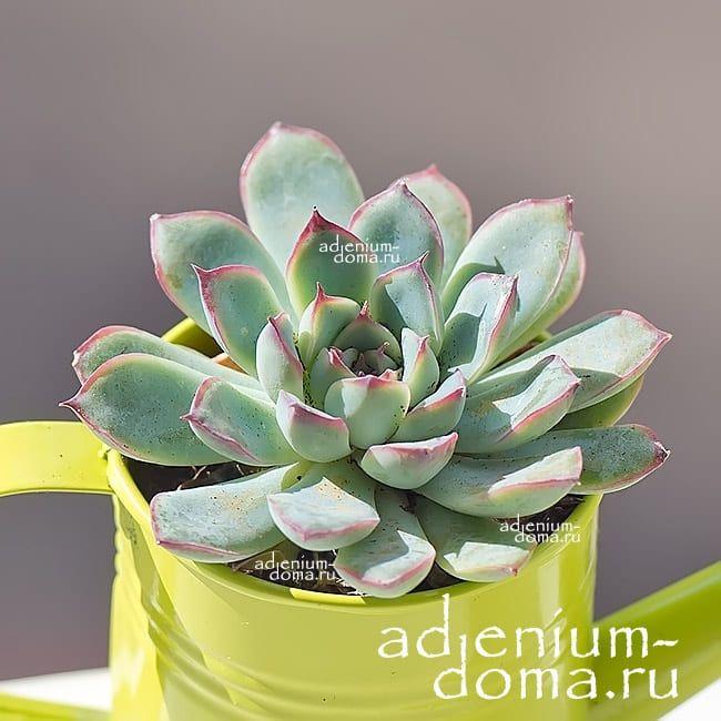 Растение Echeveria PELLUCIDA Эхеверия Пеллюцида 1