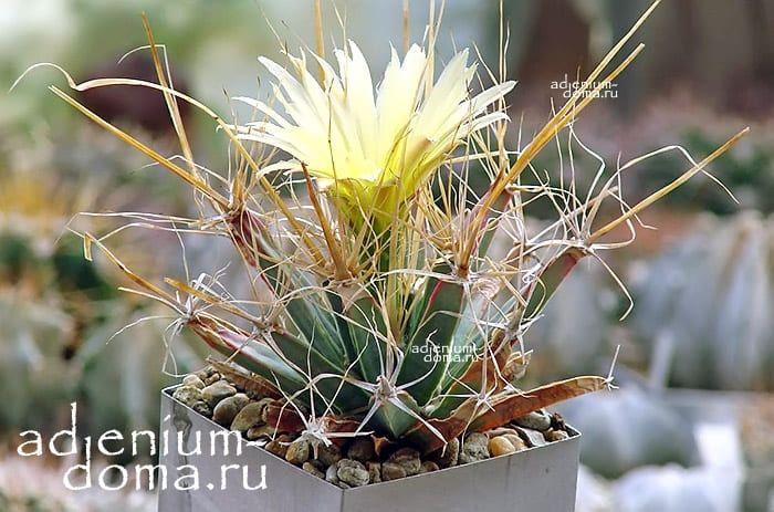 Leuchtenbergia PRINCIPIS Лейхтенбергия княжеская превосходная 3