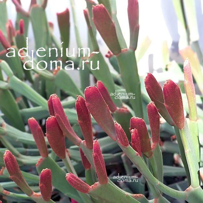 Euphorbia ENTEROPHORA Молочай энтерофора Эуфорбия 1