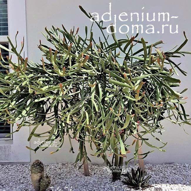 Euphorbia ENTEROPHORA Молочай энтерофора Эуфорбия 2