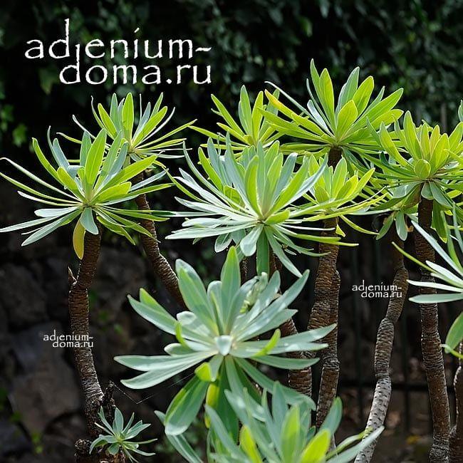 Euphorbia ATROPURPUREA Молочай темно-пурпурный Эуфорбия 1
