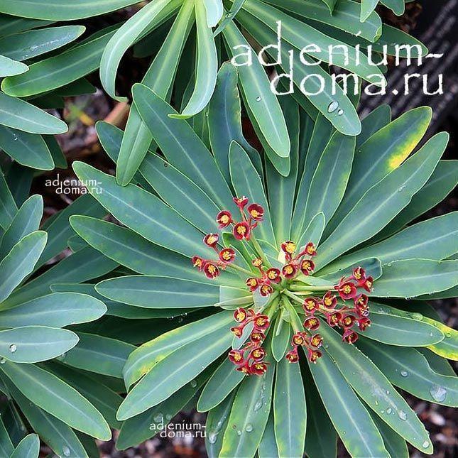Euphorbia ATROPURPUREA Молочай темно-пурпурный Эуфорбия 2