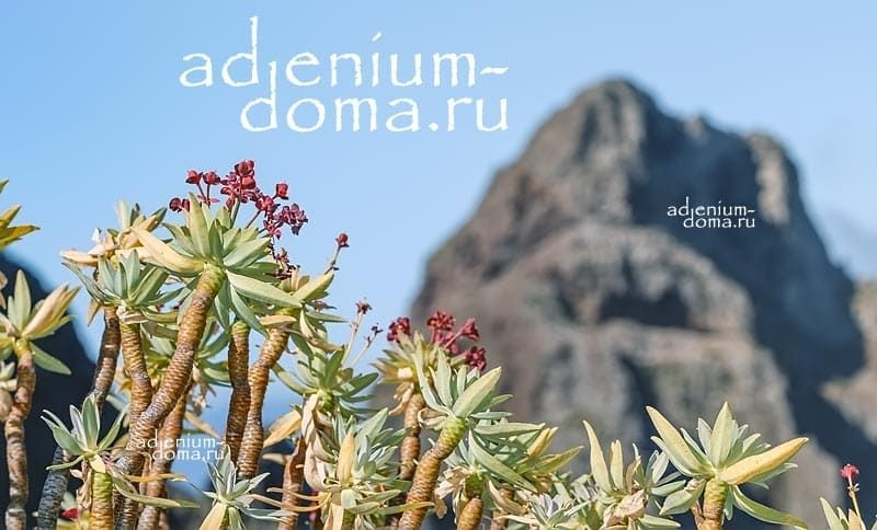 Euphorbia ATROPURPUREA Молочай темно-пурпурный Эуфорбия 3