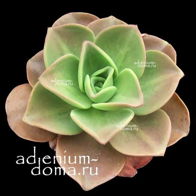 Aeonium NOBILE Эониум благородный 2