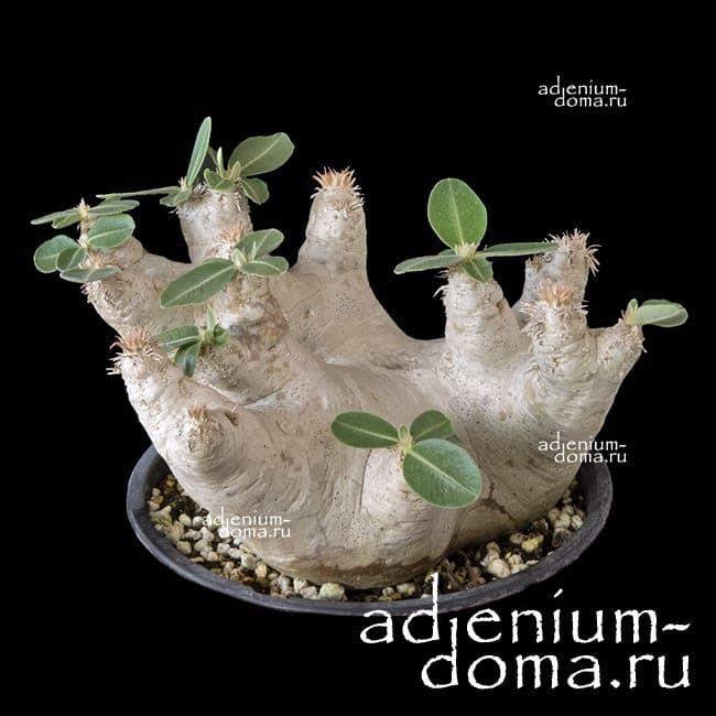 Pachypodium EBURNEUM Пахиподиум Эбурнеум 1