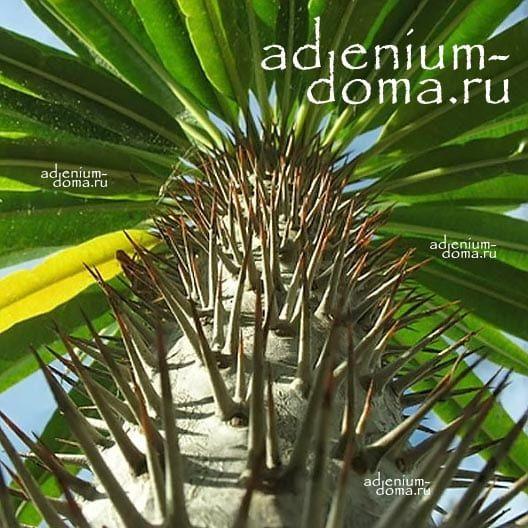 Pachypodium LAMEREI RAMOSUM Пахиподиум Ламера ветвистый 2