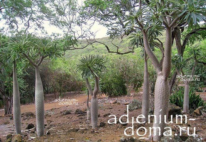 Pachypodium LAMEREI RAMOSUM Пахиподиум Ламера ветвистый 3