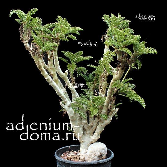 Pelargonium LAXUM Пеларгония распростертая 2