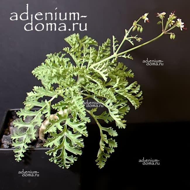Pelargonium LAXUM Пеларгония распростертая 1