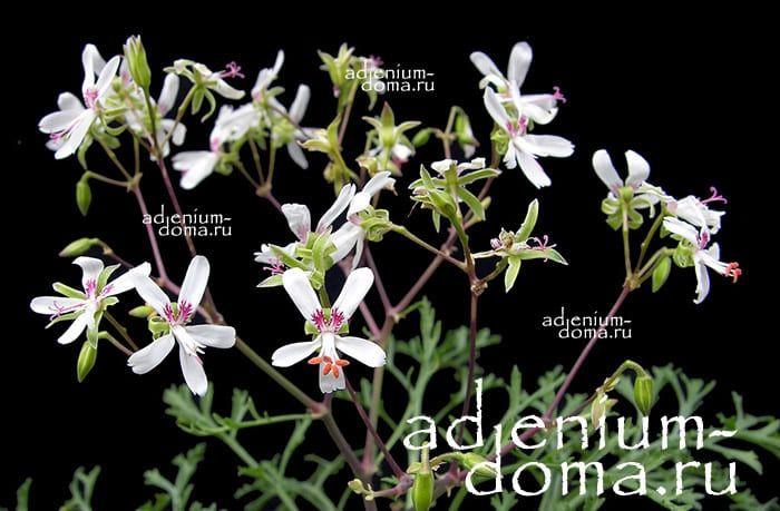 Pelargonium LAXUM Пеларгония распростертая 3