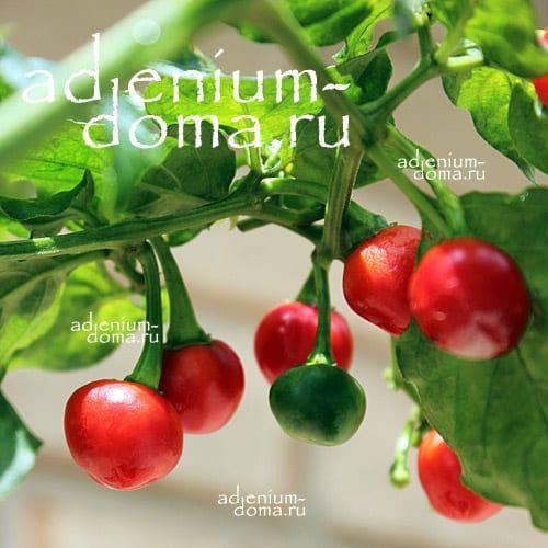 Capsicum ANNUUM DALLE KHURSANI Chili Cherry pepper Вишневый Перец стручковый овощной чили мексиканский кайенский 1