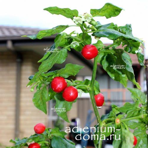 Capsicum ANNUUM DALLE KHURSANI Chili Cherry pepper Вишневый Перец стручковый овощной чили мексиканский кайенский 3