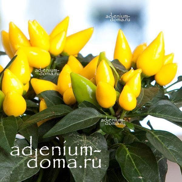 Capsicum ANNUUM mix YELLOW Перец стручковый овощной чили мексиканский кайенский 1