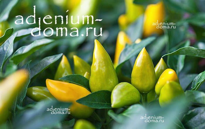 Capsicum ANNUUM mix YELLOW Перец стручковый овощной чили мексиканский кайенский 3