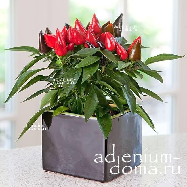 Capsicum ANNUUM mix RED Перец стручковый овощной чили мексиканский кайенский 1