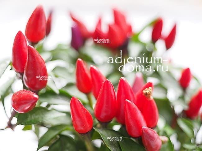 Capsicum ANNUUM mix RED Перец стручковый овощной чили мексиканский кайенский 3