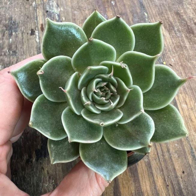 Растение Echeveria MIX IV Эхеверия Эчеверия Микс 1