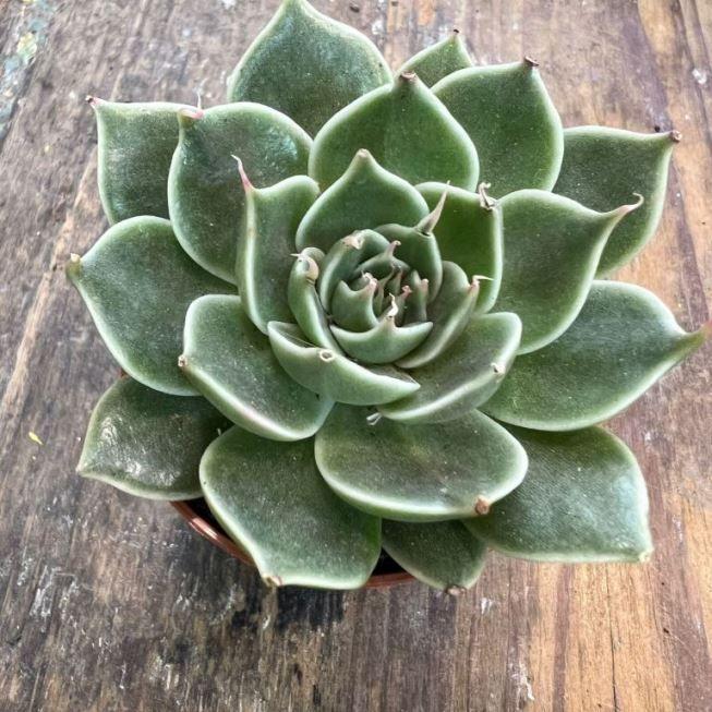 Растение Echeveria MIX IV Эхеверия Эчеверия Микс 3