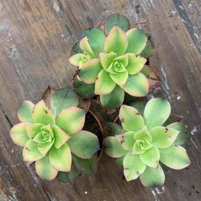 Растение Aeonium PERCARNEUM KIWI Эониум мясистый Киви 2