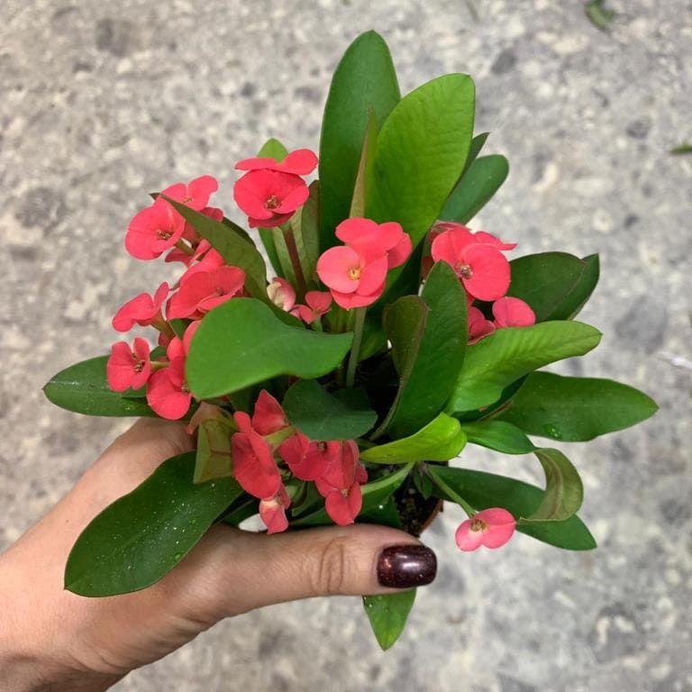 Растение Euphorbia MILII Молочай Миля 1