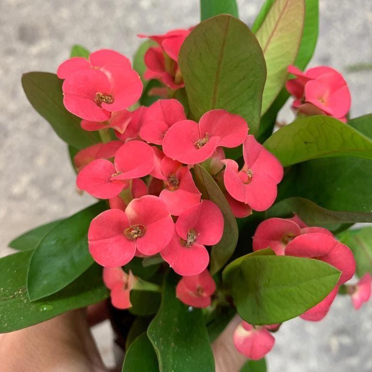 Растение Euphorbia MILII Молочай Миля 2
