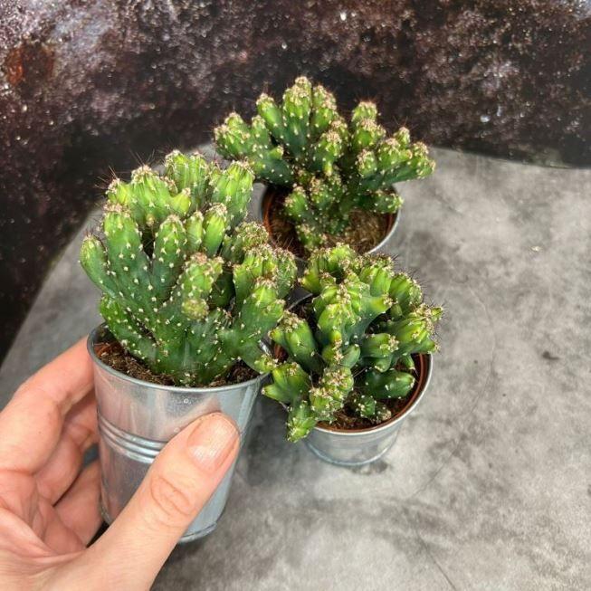 Cereus PERUVIANUS Цереус перуанский 2