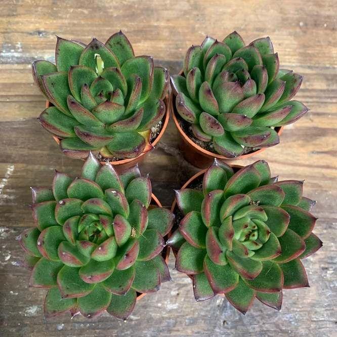 Растение Echeveria IVONY Эхеверия Ивони 2