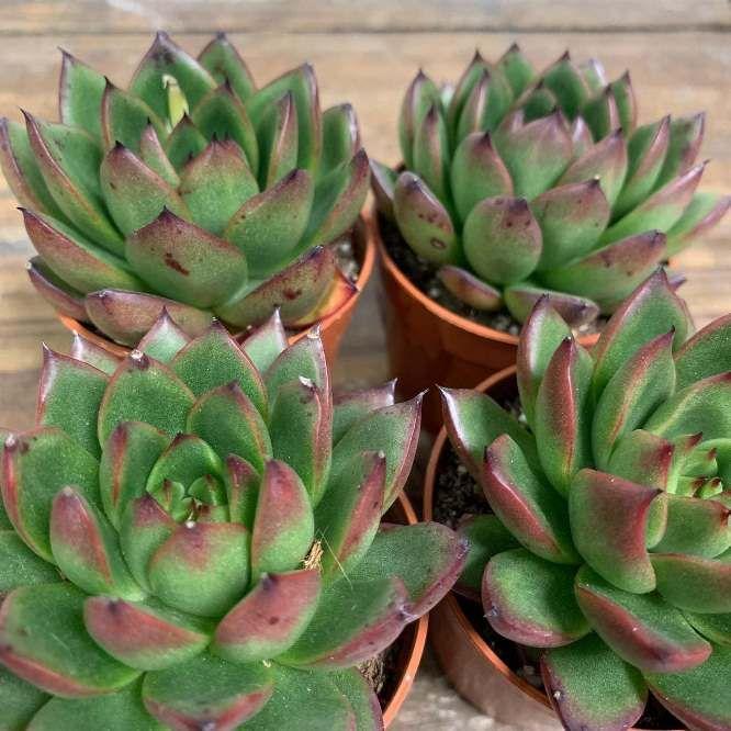 Растение Echeveria IVONY Эхеверия Ивони 3