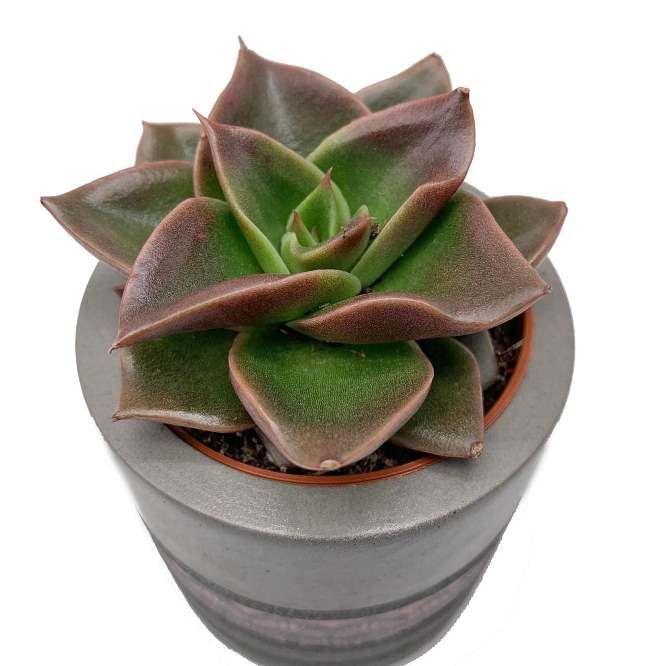 Растение Echeveria MEXICANA Эхеверия Мексикана 1