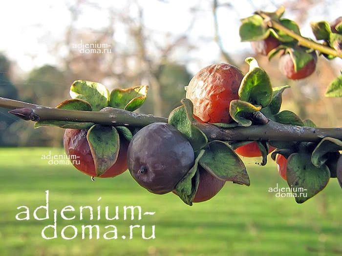 Diospyros LOTUS Хурма обыкновенная кавказская Дикий финик Финиковая слива 3