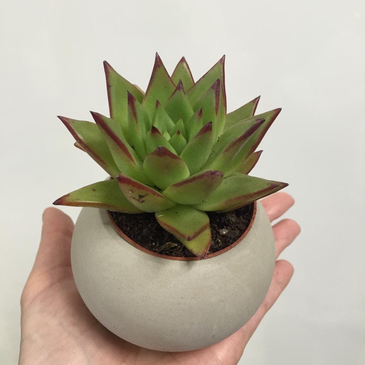 Растение Echeveria AGAVOIDES EBONY Эхеверия Эчеверия 3