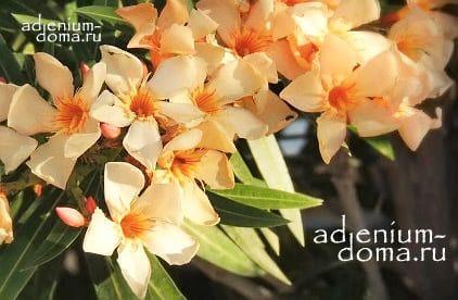 Nerium OLEANDER THALIA Олеандр обыкновенный 2