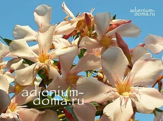 Nerium OLEANDER THALIA Олеандр обыкновенный 3