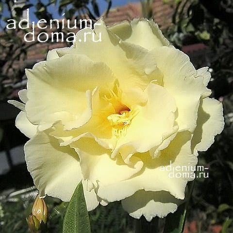 Nerium OLEANDER LUTEUM PLENUM Олеандр обыкновенный 1