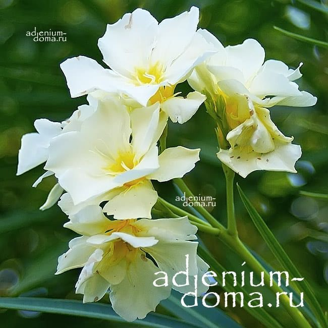 Nerium OLEANDER LUTEUM PLENUM Олеандр обыкновенный 2