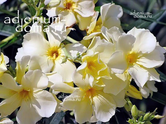 Nerium OLEANDER LUTEUM PLENUM Олеандр обыкновенный 3