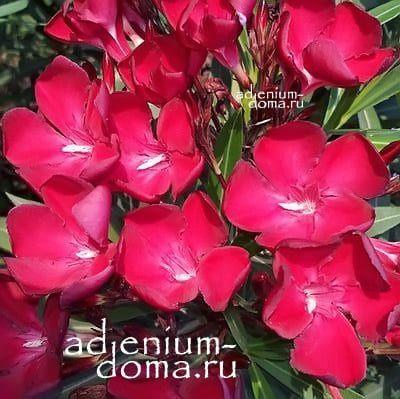 Nerium OLEANDER CARDINAL Олеандр обыкновенный 1