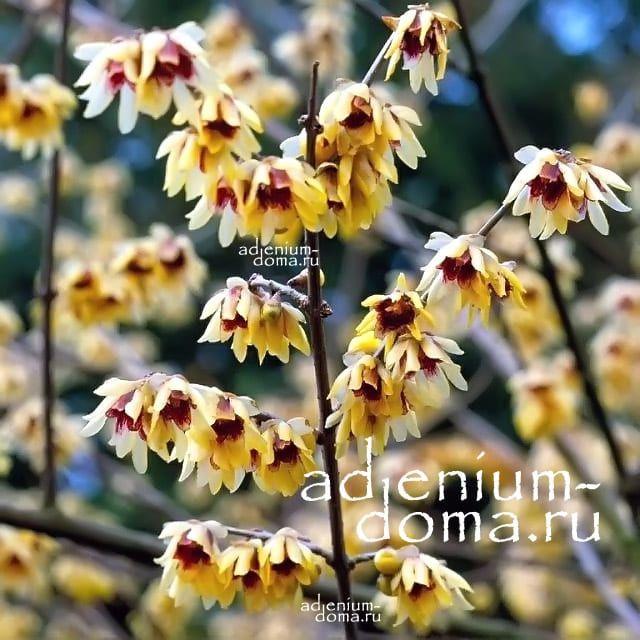 Chimonanthus PRAECOX Химонантус скороспелый Зимоцвет Химонант ранний 1