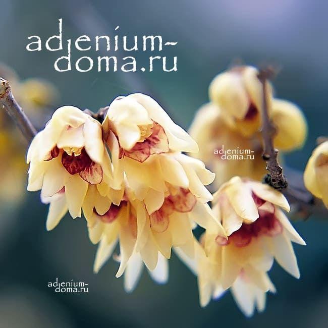 Chimonanthus PRAECOX Химонантус скороспелый Зимоцвет Химонант ранний 3