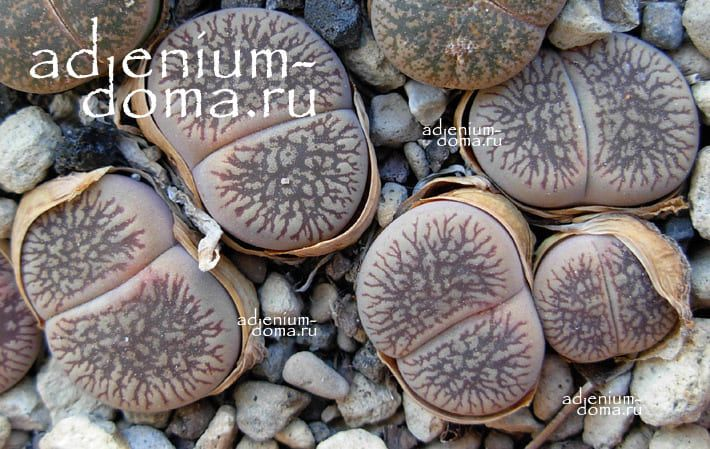 Lithops AUCAMPIAE FLUMINALIS Литопс аукамп 1
