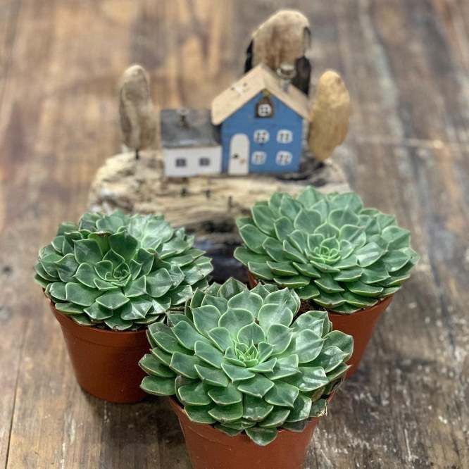 Растение Graptopetalum MIX I Граптопеталум Микс 2
