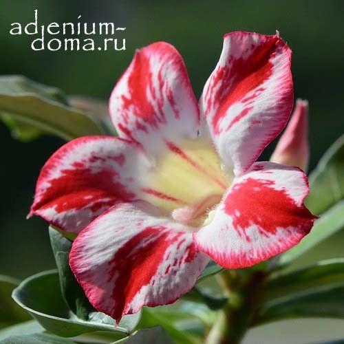 Ветка Adenium Obesum WHITE