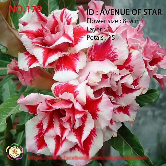 Adenium Obesum AVENUE OF STAR