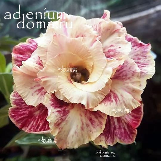Adenium Obesum GOLDEN YEARS
