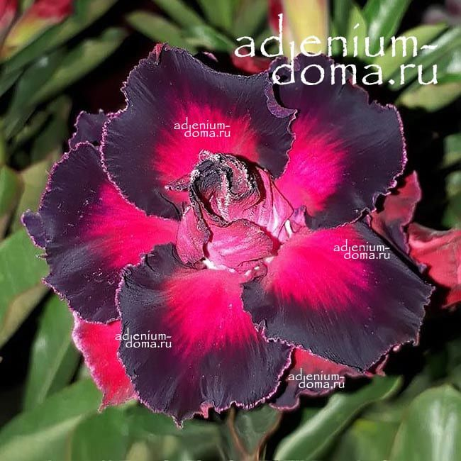 Adenium Obesum BLACK AND RED 2