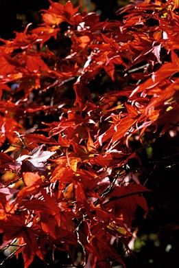 Acer PALMATUM ATROPURPUREUM Клен веерный дланевидный Атропурпуреум 3