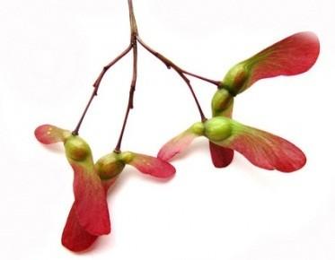 Acer PALMATUM ATROPURPUREUM Клен веерный дланевидный Атропурпуреум 2