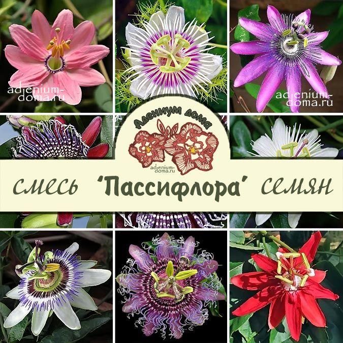 Passiflora MIX Пассифлора микс 1